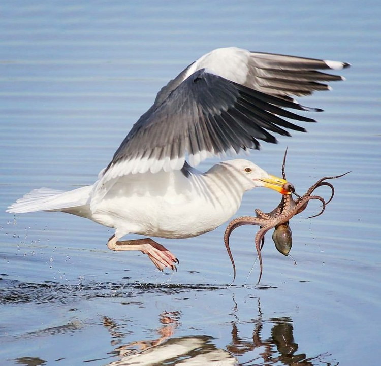 Кадр успешной охоты чайки на осьминога